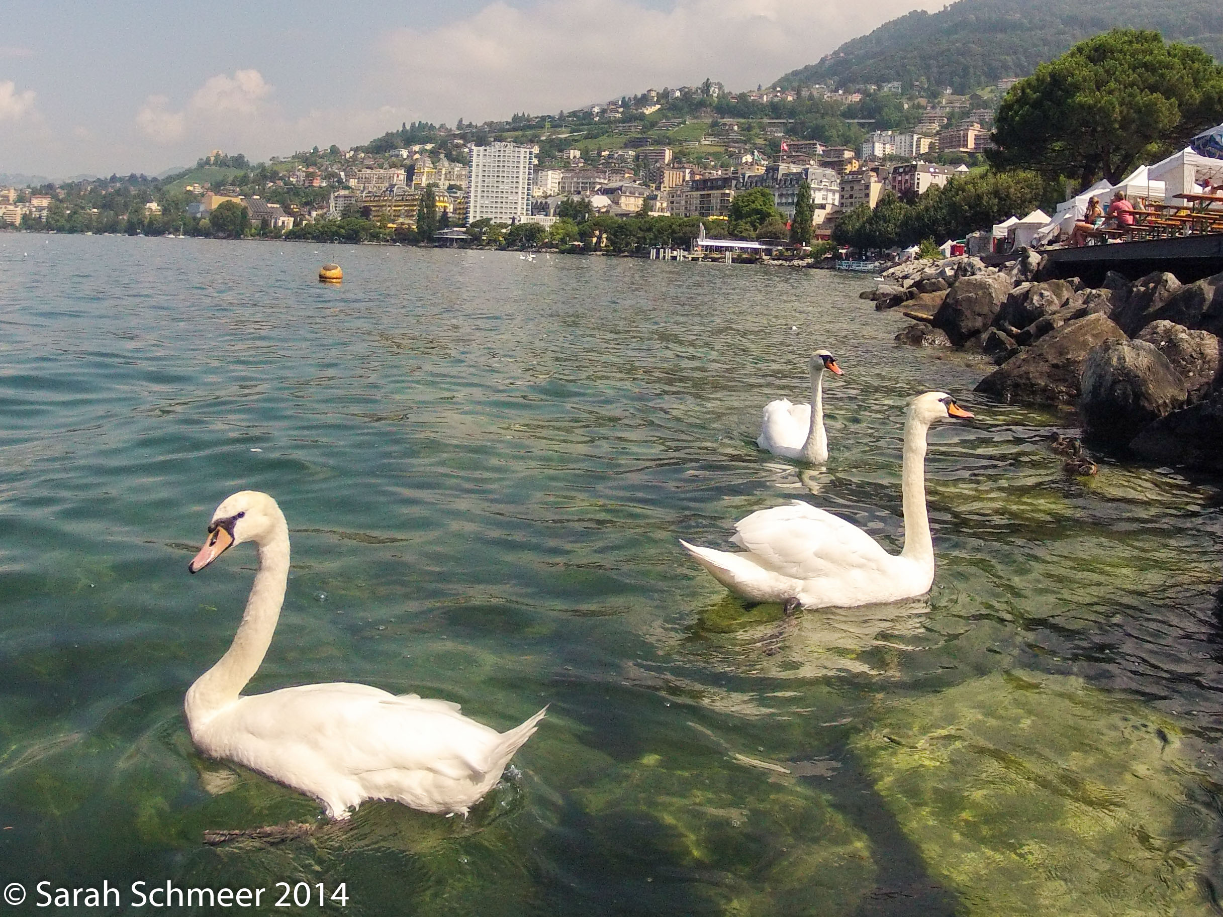 Swans on Lac Leman on Swiss National Day