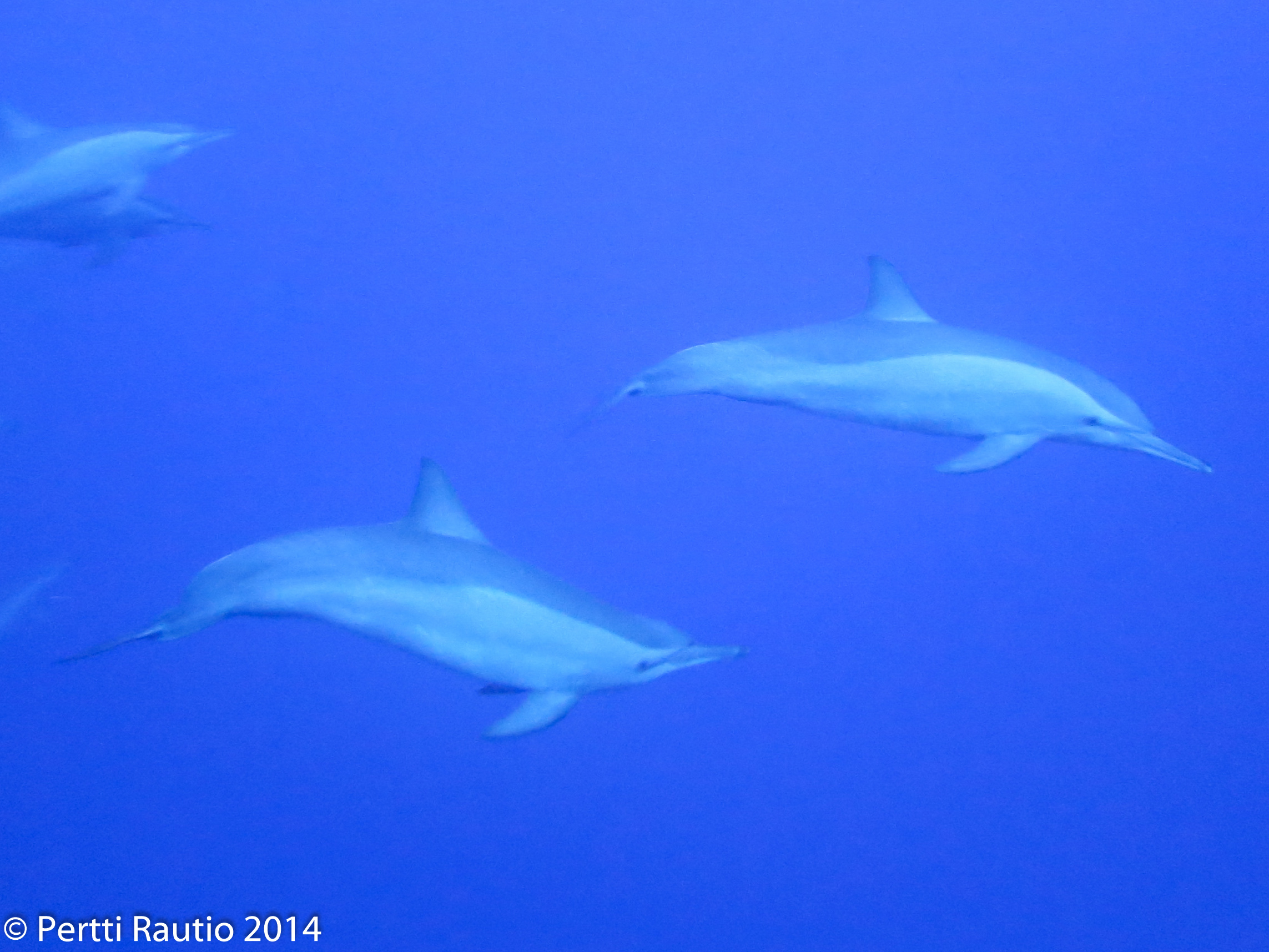 A couple of spinner dolphins checking us out.