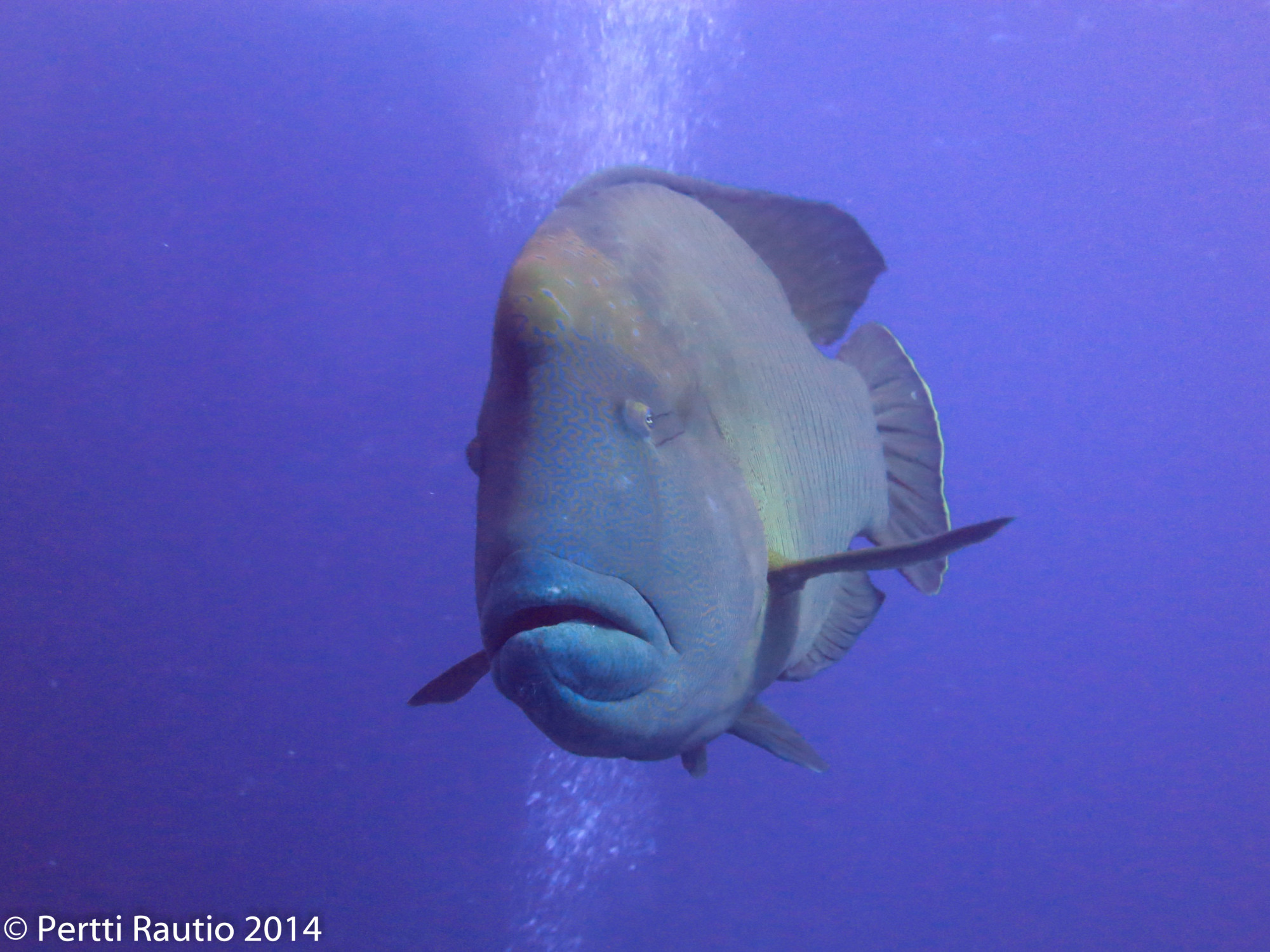 Getting checked out by a Napoleon wrasse (about 4 ft long).
